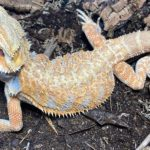 Would you ever own a bearded dragon?